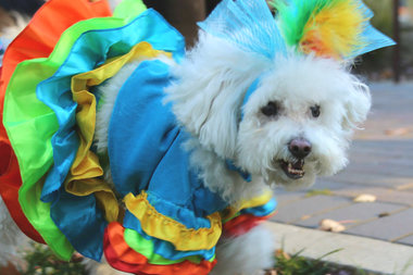 A colorful costume at a pet parade in West Loop's Mary Bartelme Park.