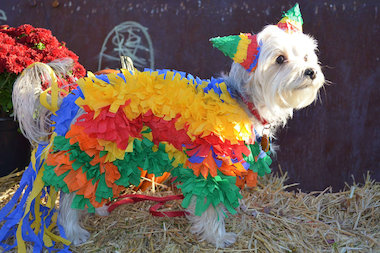 A very creative piñata costume adorns this dog at a pet parade in the West Loop.