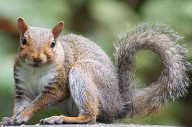 Why do gray squirrels lord it over fox squirrels in Chicago? You'll have to watch WTTW's