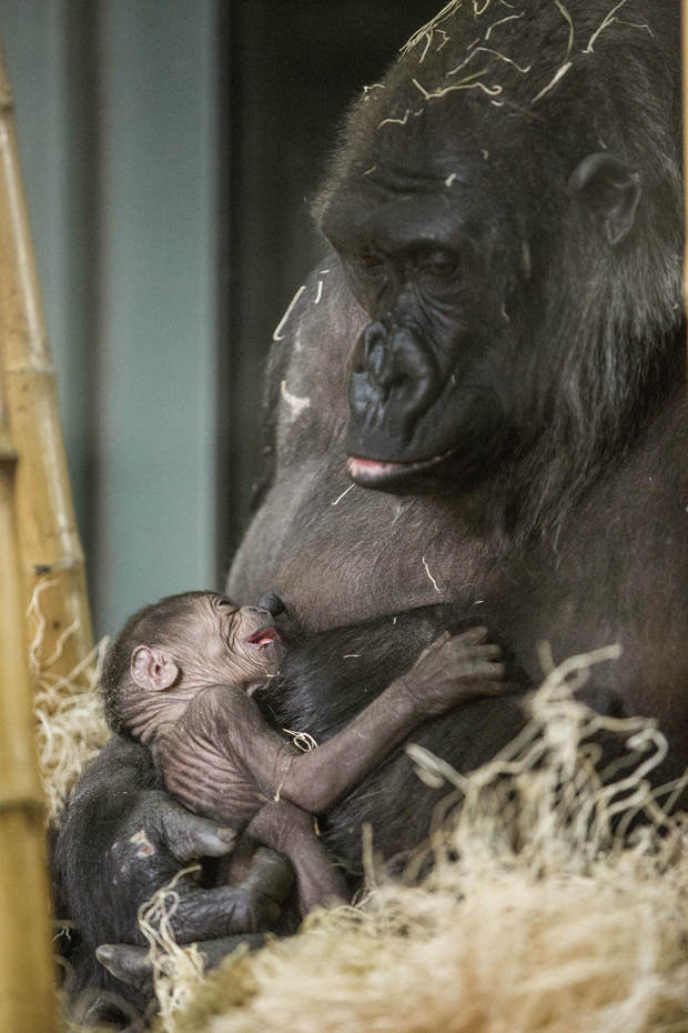 Baby Gorilla Healthy Hanging On To Mom At Lincoln Park