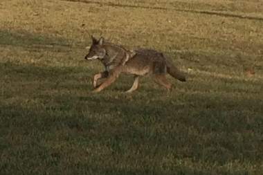 A coyote roams the University of Illinois at Chicago campus.