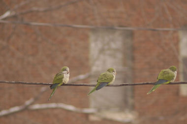 Monk parakeets emerging from their elaborate nests is one of the first signs of spring in Hyde Park.