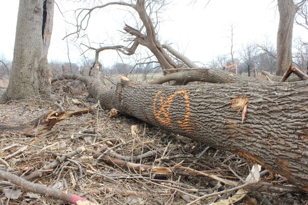 The Army Corps of Engineers are in the midst of a massive restoration effort on Wooded Island that has removed a third of the trees.
