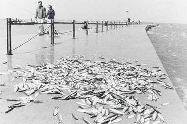 Piles of dead alewives were still washing up on Chicago's shoreline in 1970, but Chinook salmon significantly decreased the number in the following years.