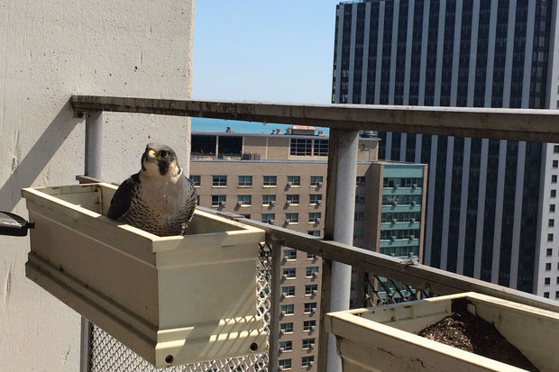Peregrine falcons find home in Lakeview apartment balcony.