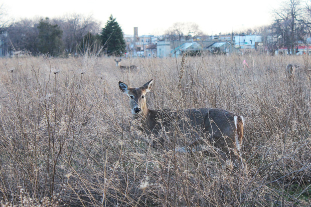 A deer near the future site of the West Ridge Nature Preserve.