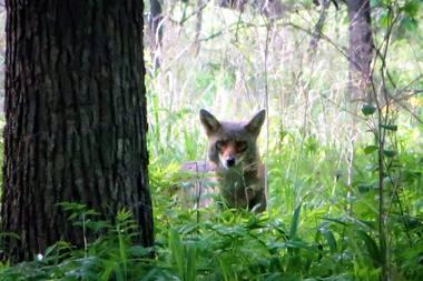 Coyotes are to be left alone whenever possible according to a new city ordinance.