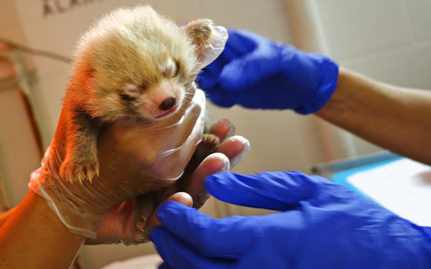In their first health exam July 10, the red panda cubs at the Lincoln Park Zoo were found to be a girl and a boy.