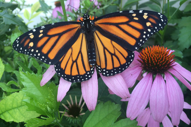 Monarch butterflies migrated through town in increasing numbers this year.