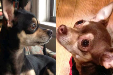 Rogers Park chihuahuas Napoleon and Tequila, slated to be married in September, will be toasting to their engagement this Sunday at the Glenwood Sunday BARKET.