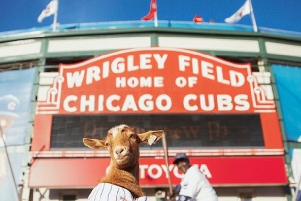 Littleton the Goat has 2,700 Instagram followers and a big dream: to break the Curse of the Billy Goat and help the Cubs win it all.