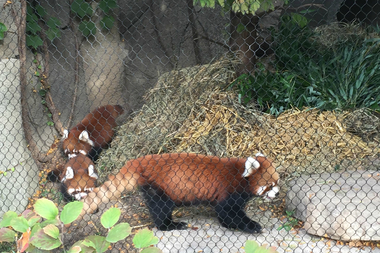 lincoln park zoo s first red panda cubs explore for first time