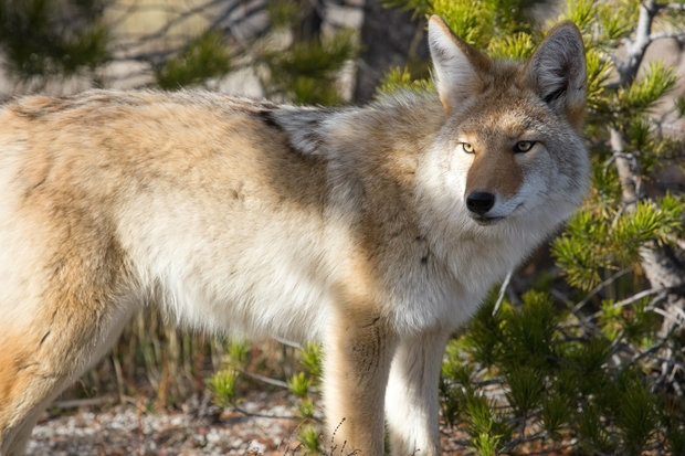 Is A Pack Of Coywolves Prowling The North Side North