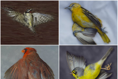 To bring attention to the death and injuries sustained by more than 3,000 migratory birds that collide into Chicago buildings each year, The Chicago Academy of Sciences / Peggy Notebaert Nature Museum welcomes an exhibit of songbird portraits, by local photographer Art Fox.