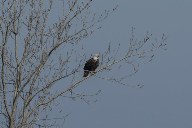 A bald eagle photographed on Chicago's South Side near Rainbow Beach Dunes.