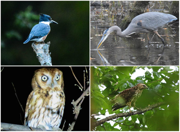 Birds in LaBagh Woods, including kingfishers, owls, herons and hawks.