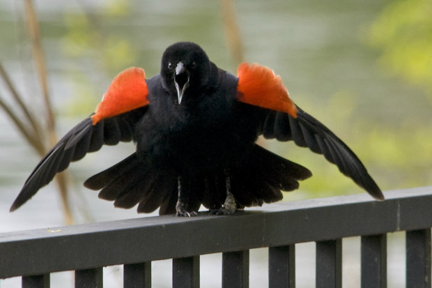 Red-winged blackbirds are known to swoop down on humans while protecting their nests.