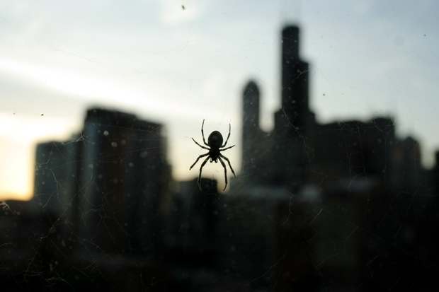Spiders routinely occupy window space in Chicago's high-rises.