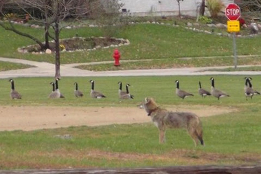 Coyotes hold down the goose population by preying on their eggs, says Dr. Stan Gehrt.