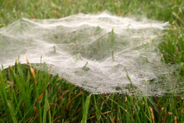 Webs on a lawn on Thursday, June 23, 2016