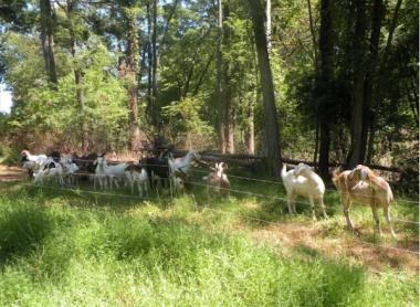 Goats owned by Lawrence Cihanek eat weeds at the Wilderstein Historic Site in upstate New York.
