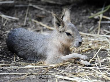 The Central Park Zoo's new addition is this Patagonian cavy, born two weeks ago.