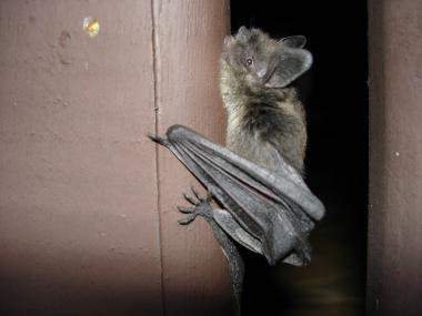 Bats Allegedly Drove A Pair Of Washington Heights Women From Their Apartment