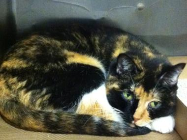 Willow, a cat that went missing in Colorado five years ago, was found in New York City on Sept. 7, 2011.