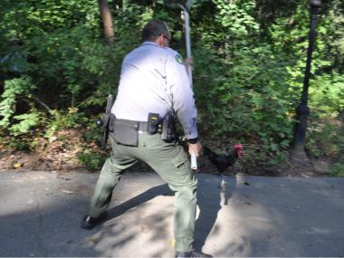 A Park Ranger narrowly missed capturing a rooster in Fort Tryon Park.