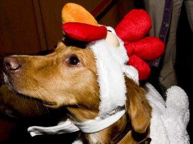 A golden retriever is a hit as a rooster.