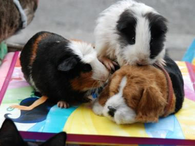 Joseph Noal's guinea pigs rest on a stuffed dog toy.