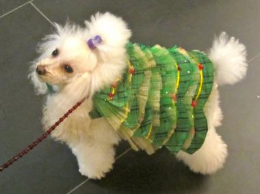 Gucci the poodle is dress in a Christmas tree outfit  at the Toys for Dogs event.