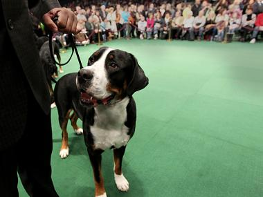 A pooch gets ready to be paraded in Ring #3 at the Annual Westminster Dog Show on Feb. 14th, 2012.