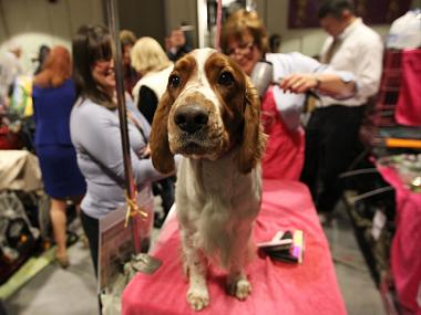 A pooch gets groomed at this year's Westminster Dog Show on Feb. 14th, 2012.