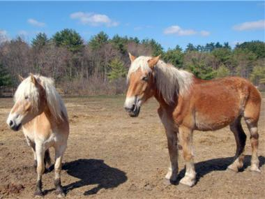 "Horses at Blue Star Equiculture, the Massachusetts horse sanctuary that has been named the ""official"" retirement home for New York City's carriage horses."