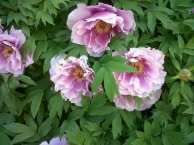 A dinner-plate sized tree peonie, similar to what will be available for purchase at the 2012 Brooklyn Botanic Garden's plant sale.