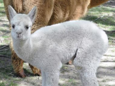 One of The Queens Zoo's newest baby animals is an adorable alpaca.