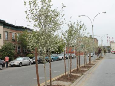 Newly planted tress along 11 Street in Long Island City