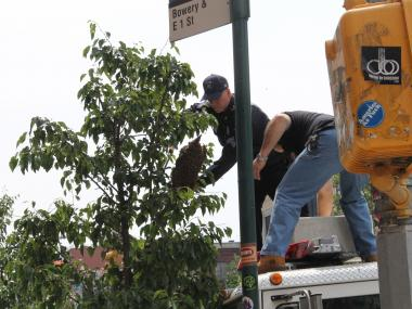 More than three pounds of feral bees took over a Bowery Street tree Wednesday afternoon.