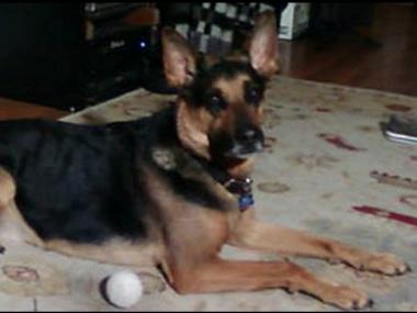 9-year-old German shepherd Hobbes died suddenly May 13, 2012, after being taken for a walk in Inwood HIll Park. The family suspects he may have eaten poison.