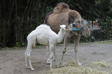 The Bronx Zoo is now welcoming visitors to see its first baby camel since 1982.