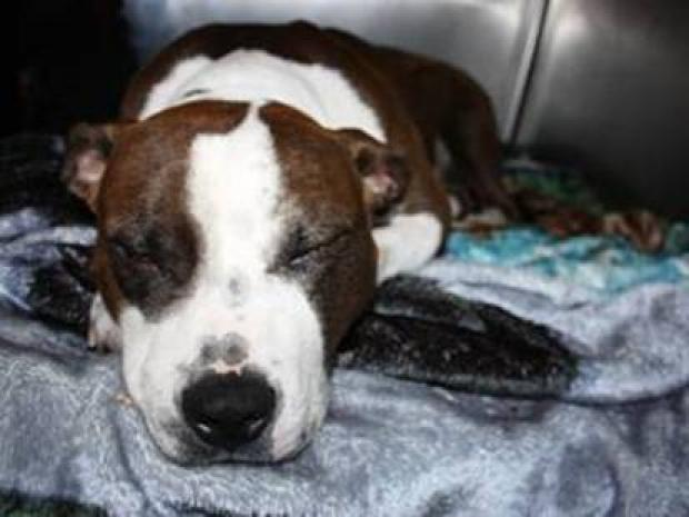 Star, a dog who survived being shot by the NYPD, is recieving medical treament.