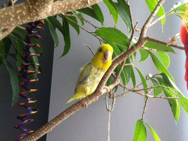 Ephraim, a rare yellow and speckled blue parrotlet, escaped from his home Sunday afternoon.