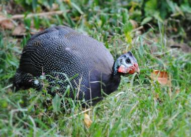 Inwood locals were excited to meet the neighborhood's latest bird, possibly escaped Guinea Fowl.