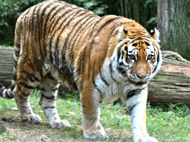 Sources said a 25-year-old man apparently tried to commit suicide by leaping into the tiger's den at the Bronx Zoo, Sept. 21, 2012.
