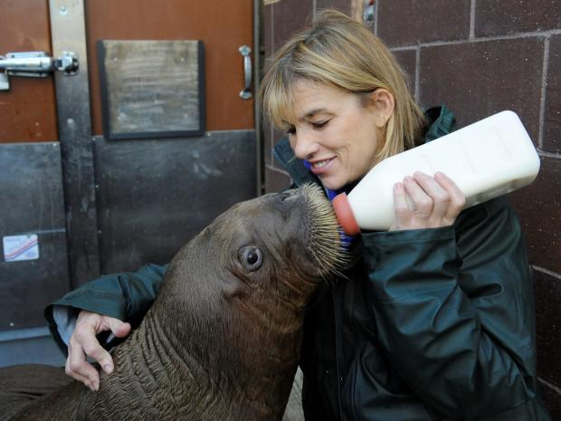 A 242-pound walrus calf rescued off the coast of Alaska was recovering in Brooklyn on October 20, 2012.