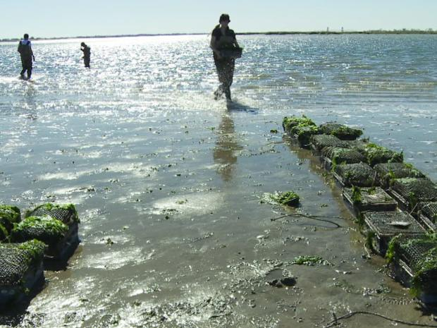 "Images from the documentary film ""SHELLSHOCKED: Saving Oysters to Save Ourselves,"" which will hold its New York premiere at The South Street Seaport Museum at 6:30 p.m. on Oct. 18, 2012."