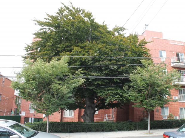 Historians and local community leaders want landmark status for a giant beech tree in Woodside that may have been planted during the Revolutionary War.
