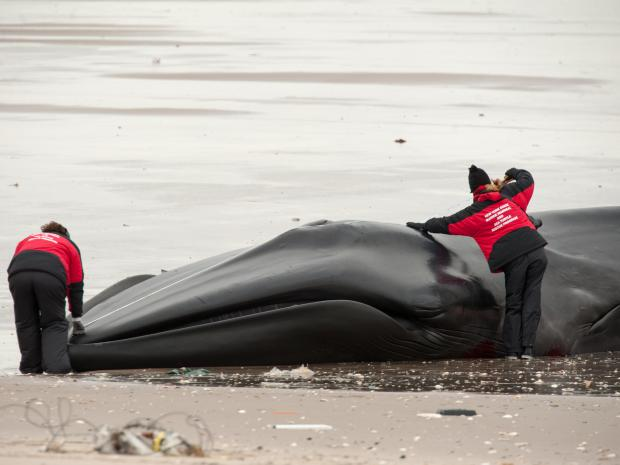 A beached whale in Breezy Point was presumed dead on Thursday, Dec. 27, 2012.
