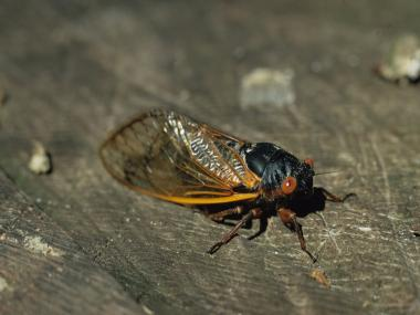 The Staten Island Museum will host an exhibit on the 17 year return of cicadas to the borough.